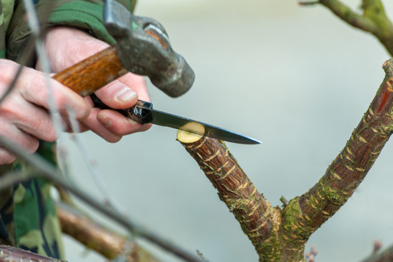 Прививаем деревья в расщеп: тонкости и хитрости процедуры