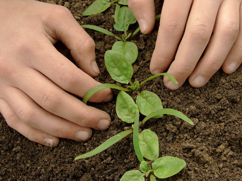 Чтобы получить ранний урожай овощей и зелени, сажаем под зиму