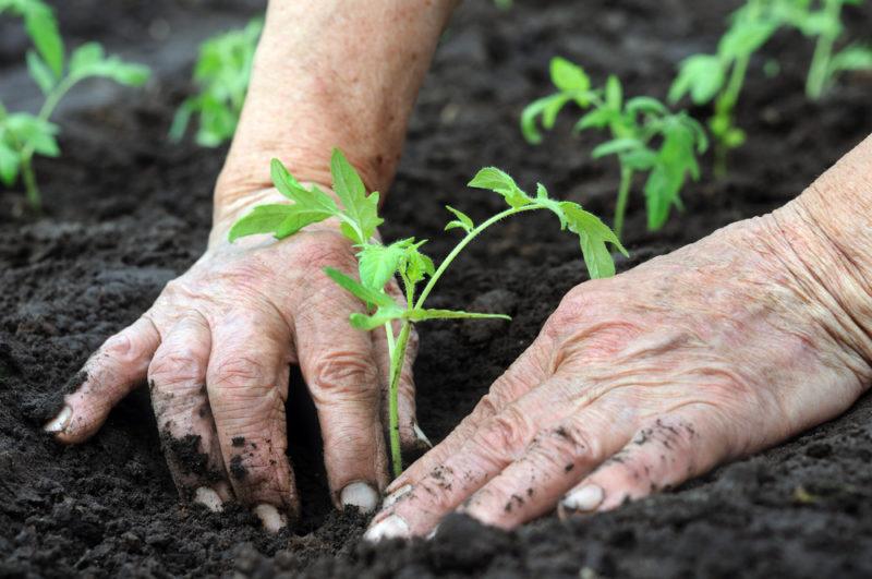 Без химических средств: что класть в углубление при посадке рассадного материала