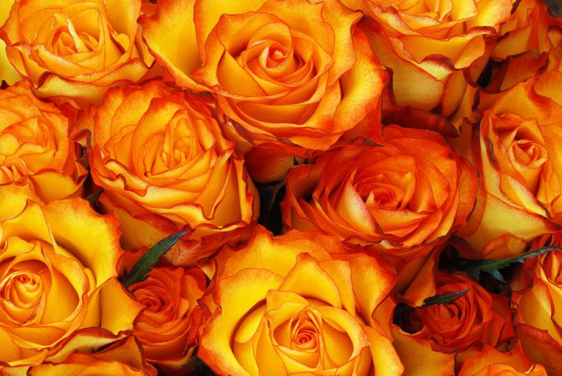 Какие культуры можно посадить по соседству с розами