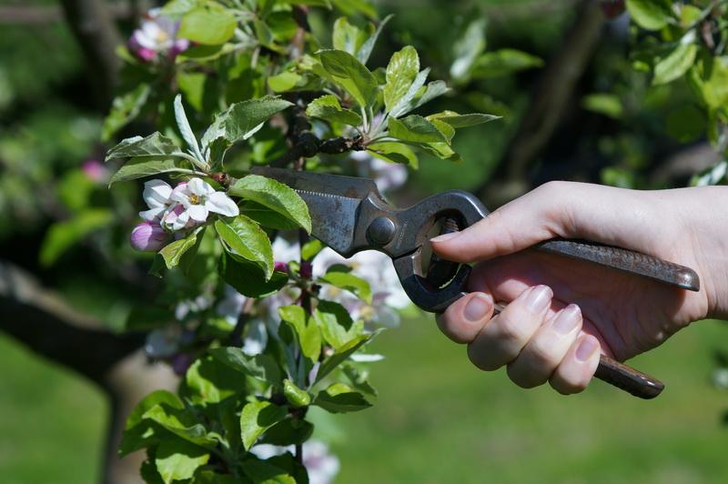 Как обрезать фруктовый сад без вреда для урожая
