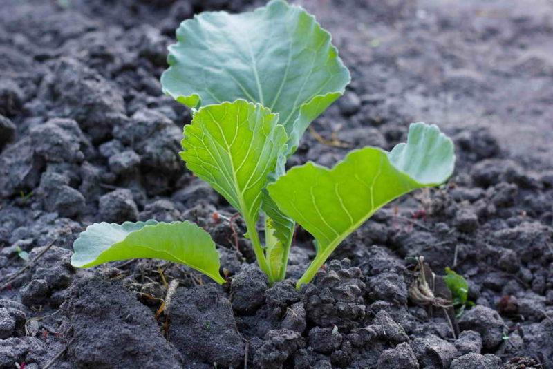 Выращивание капустной рассады: делимся секретами