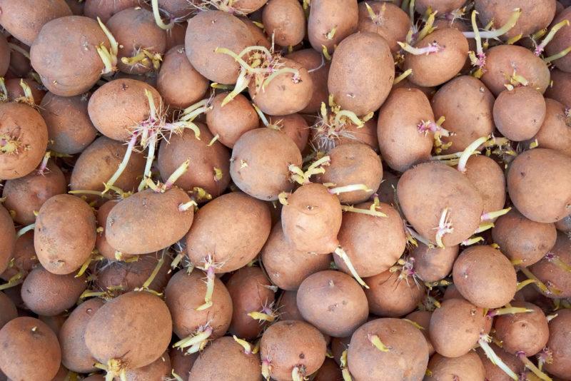 Защищаем картофель от поедания насекомыми еще до посадки