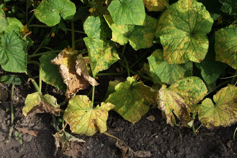 Как лечить огурцы на грядке — что делать с пятнами на листьях