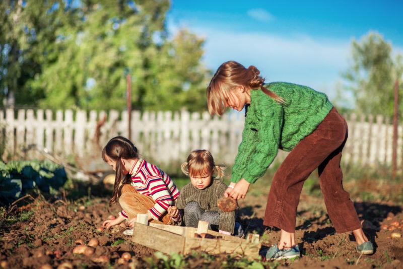 Предпосадочная обработка картофеля: важность и способы, применение препарата «Командор»