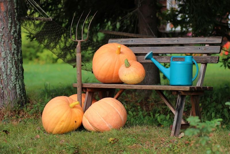 Расти, тыква, большая-пребольшая: советы огородникам