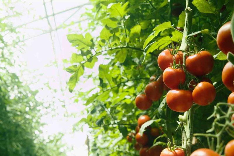 Сода в качестве результативной подкормки для томатов