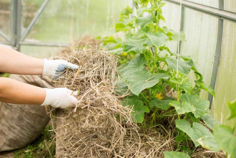 Как добиться богатого урожая огурцов: 9 проверенных способов