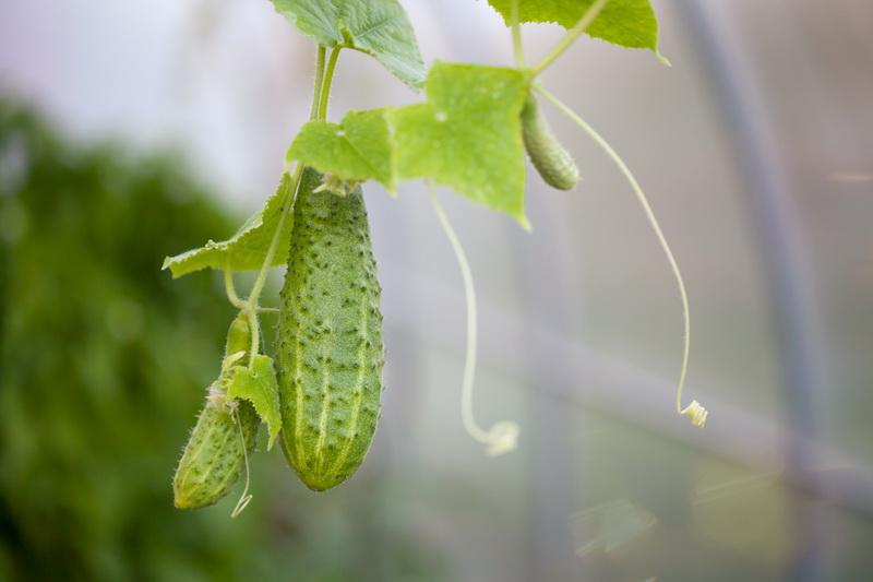 Огурцы растут в форме груши? Все поправимо — узнайте, как избежать этого в дальнейшем