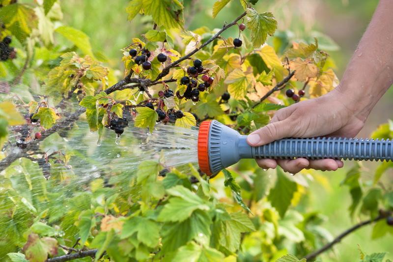 Содовая обработка черной смородины против вредителей