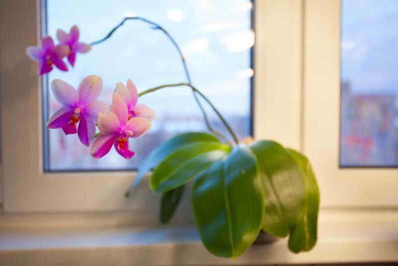 Выращивание цветоноса орхидеи в домашних условиях
