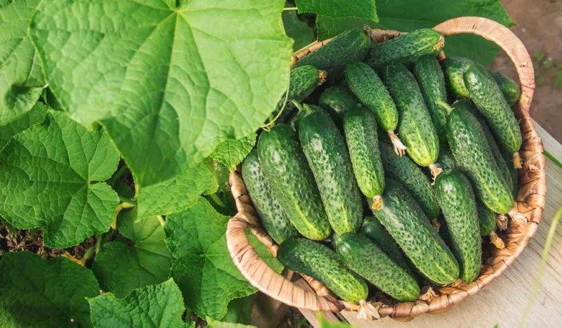 Подкормка огурцов как способ увеличить и улучшить урожай