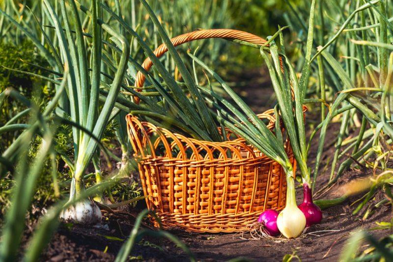 Почему желтеют кончики листьев у чеснока и лука