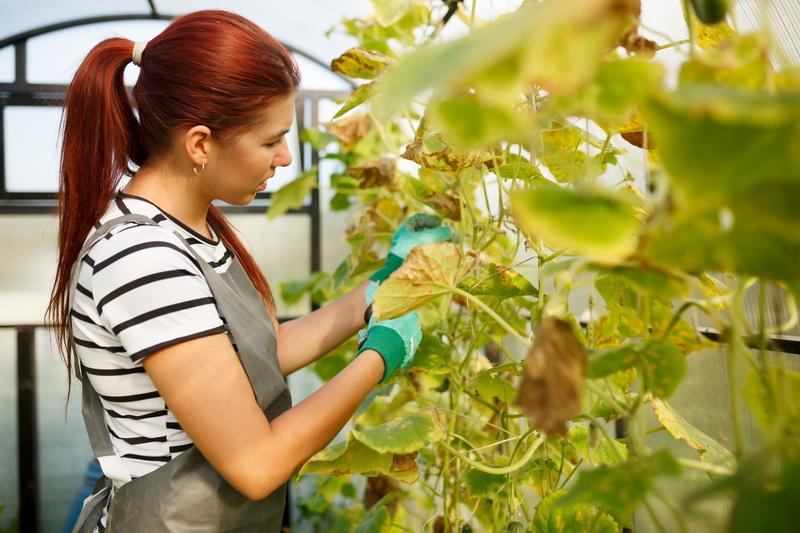Пятна на листьях огурцов: причины появления и способы борьбы