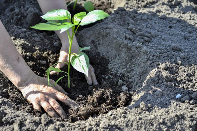 Секреты выращивания перцев в открытом грунте