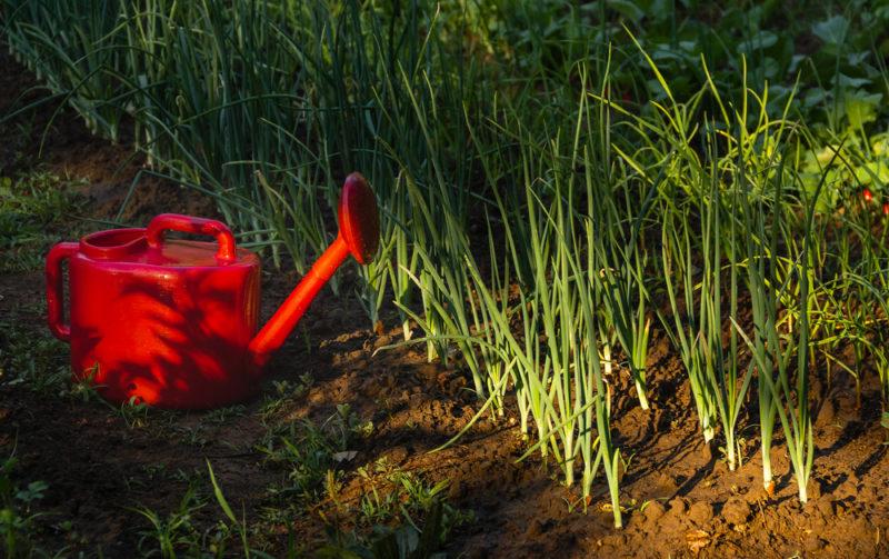 Как спасти сохнущие и опадающие перья лука: причины проблемы и способы борьбы