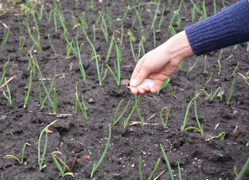 Подкормка лука для увеличения урожайности