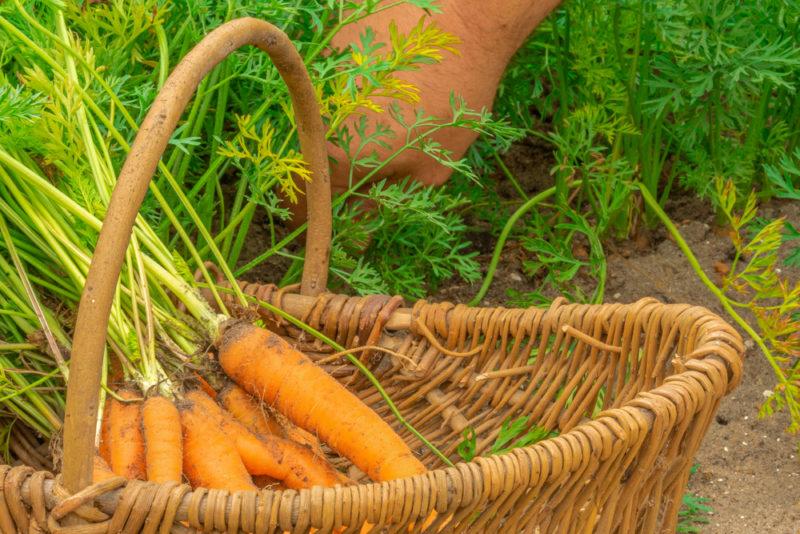 Морковь в песчаном грунте — тонкости выращивания