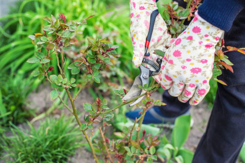 Правильная обрезка роз — залог успеха при их выращивании