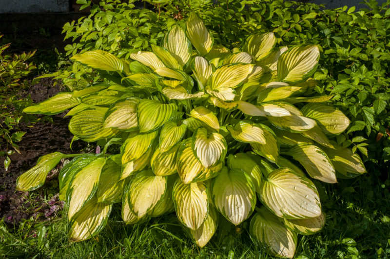 С какими растениями в саду лучше всего сочетать хосту