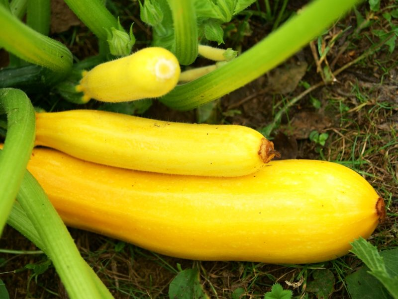 Как вырастить богатый урожай кабачков