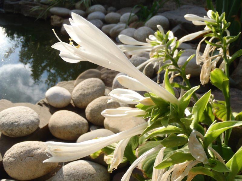 «Королева тени» — хоста как декоративное украшение садовых участков