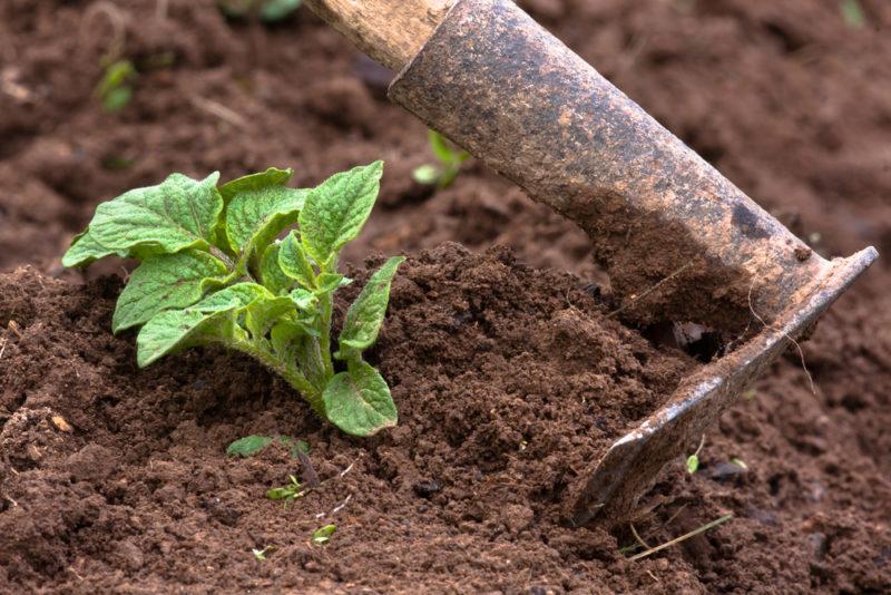 Окучивание картофеля: традиция или необходимость?