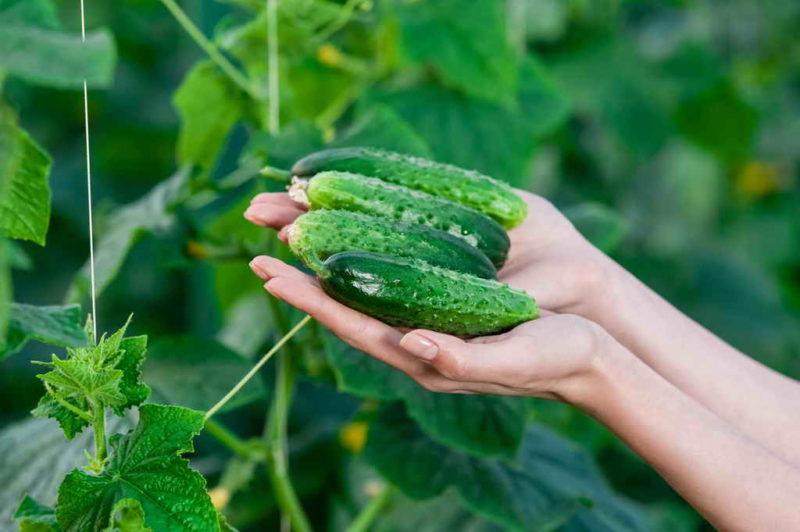 Поливаем огурцы правильно, чтобы больше не было проблем с урожаем