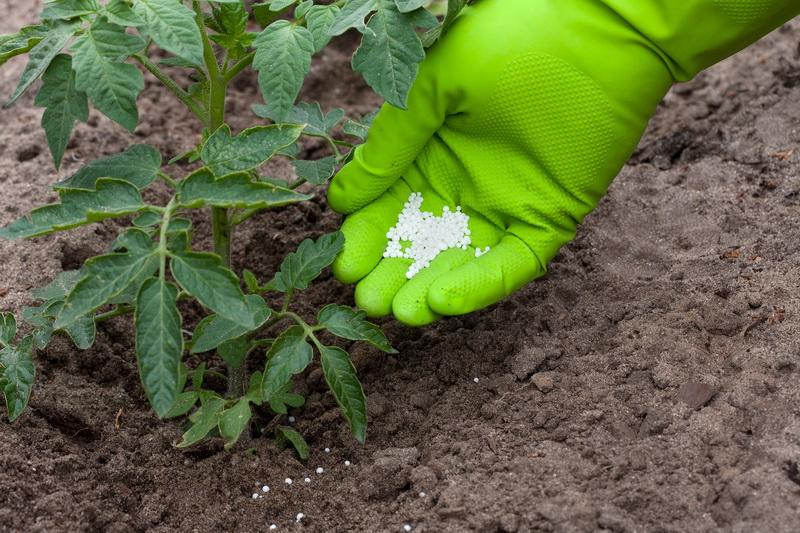 Выращивание томатов в северных районах и получение богатого урожая. Что для этого нужно