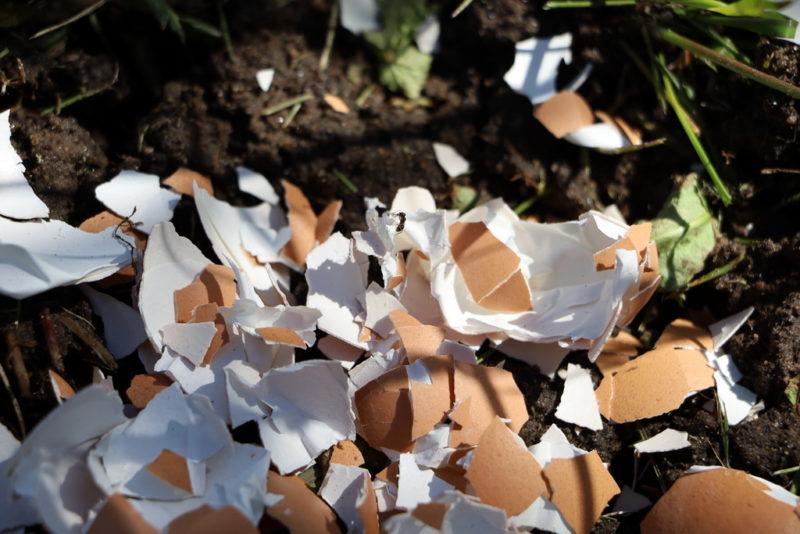 Картофельные очистки под кустом смородины: для чего это делается