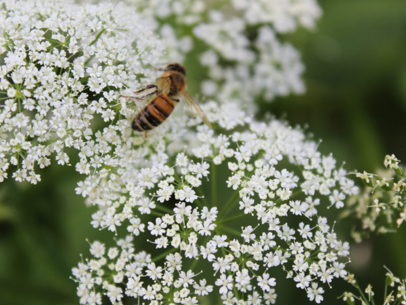 Как привлечь пчел на свой участок