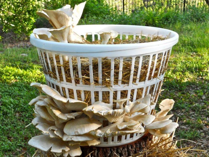 Вешенки — культивируем самостоятельно: правила и советы опытных грибоводов