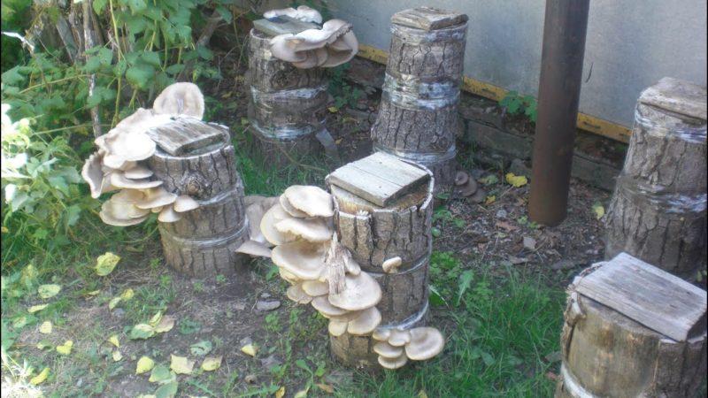 По грибы на огород: выращиваем вешенки на пенечках