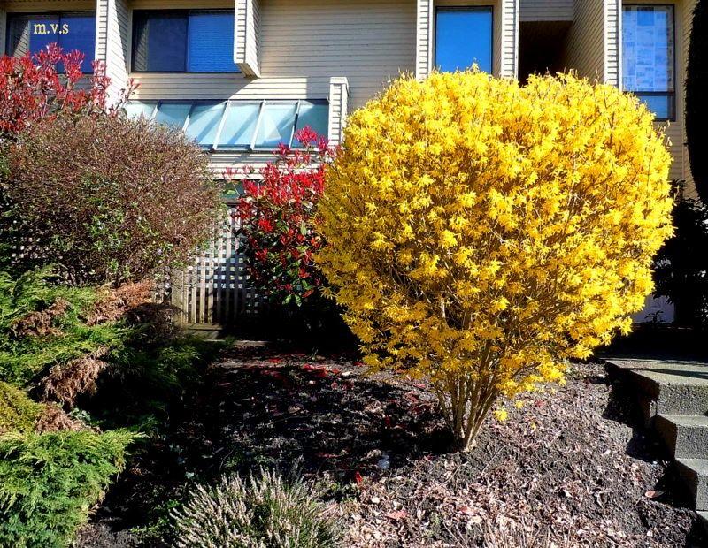 Форзиция — эффектное украшение весеннего сада: правила посадки и ухода