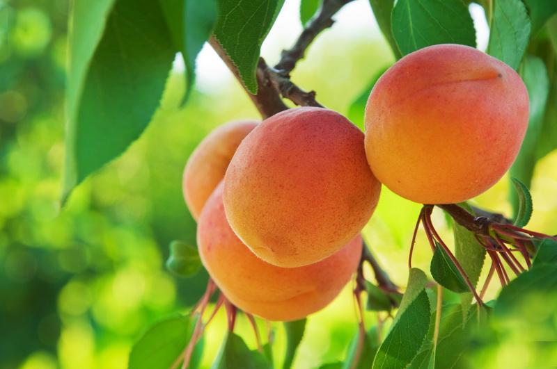Абрикосы Северный триумф: южные фрукты в условиях севера
