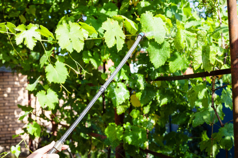 Важные процедуры по уходу за виноградной лозой