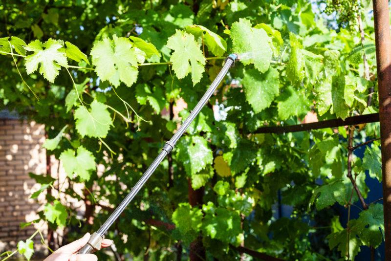 Особенности профилактической обработки: как защитить виноград