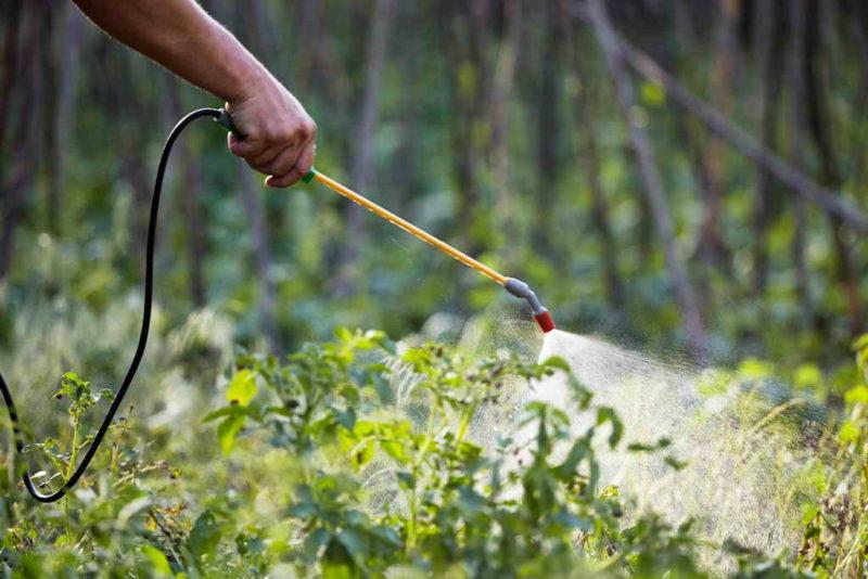 Лучший метод борьбы с колорадским жуком