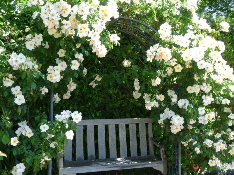 Роза или шиповник? Можно ли это определить по количеству листочков