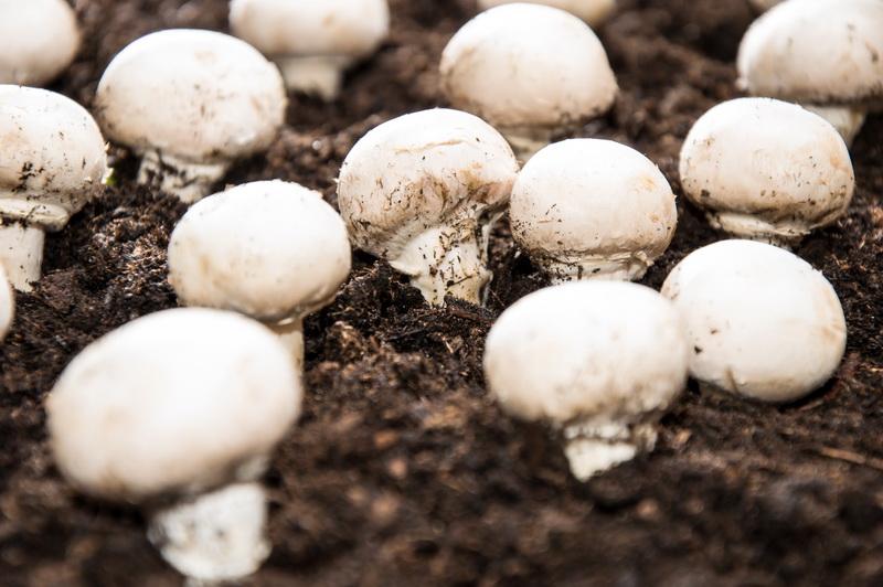 Как сделать компост для выращивания шампиньонов в домашних условиях