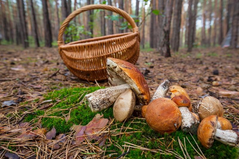 «Тихая охота» на даче: секреты выращивания лучших лесных грибов на участке