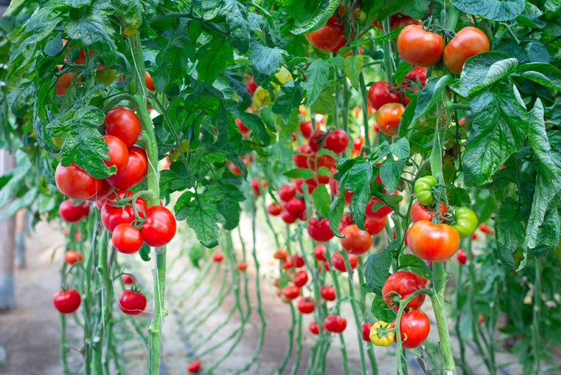 Как вырастить томаты китайским способом
