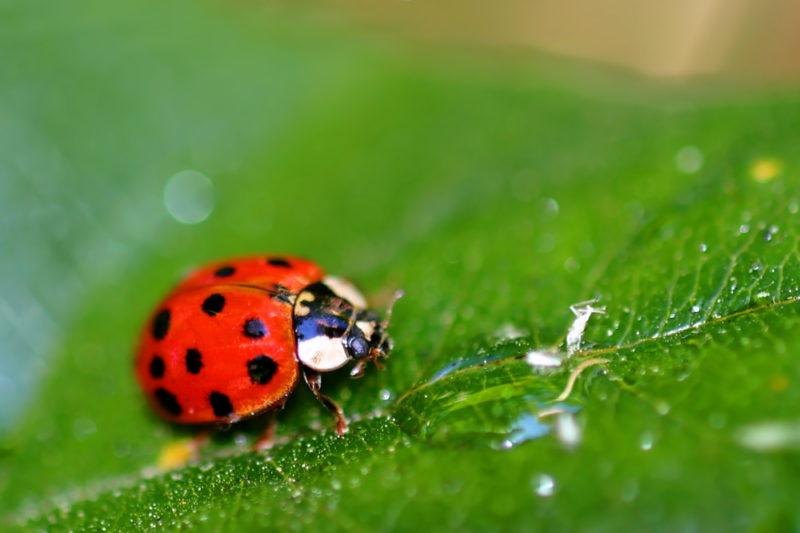 Полезные для сада и огорода насекомые