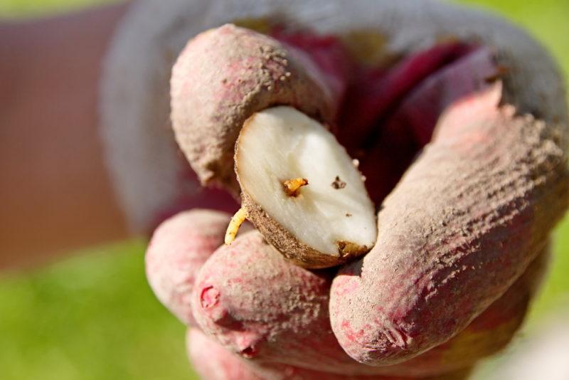 Комплексная защита урожая картофеля от самых распространенных недугов
