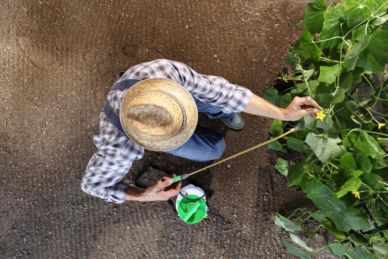 Обработка огурцов молочно-йодным раствором защитит растение и будущий урожай