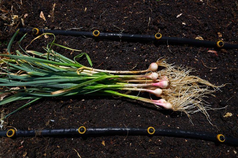 «Передача эстафеты»: что посадить на грядке после озимого чеснока
