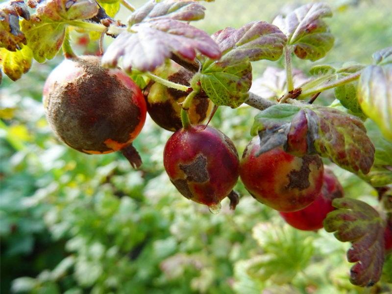 Если ягоды смородины и крыжовника выглядят вареными. Разбираемся в чем причина
