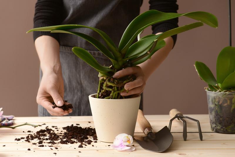 Советы по пересадке орхидеи в домашних условиях