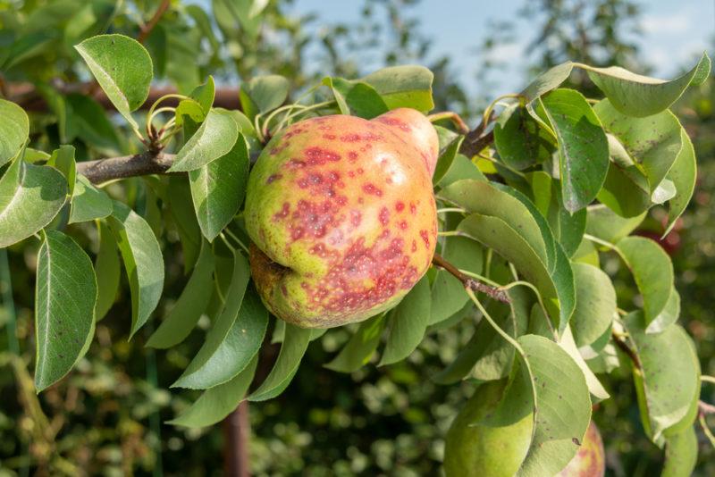 Наиболее частые болезни яблонь и груш