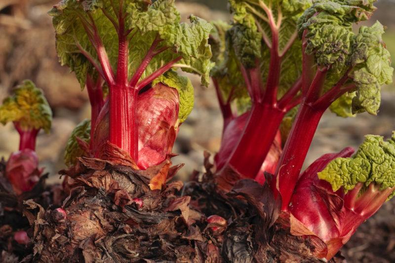 Ревень: выращивание и уход
